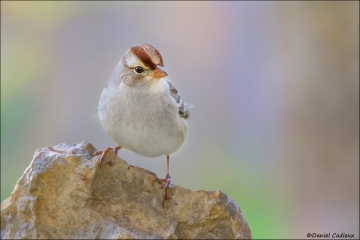 White-crowned_Sparrow_8687-12