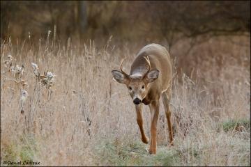 Whitetail_Deer_1013-11