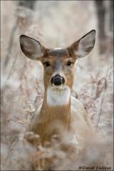 Whitetail_Deer_1028-11