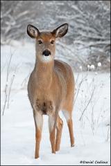 Whitetail_Deer_3766-11
