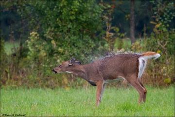Whitetail_Deer_3817-14