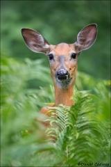 Whitetail_Deer_8518-16