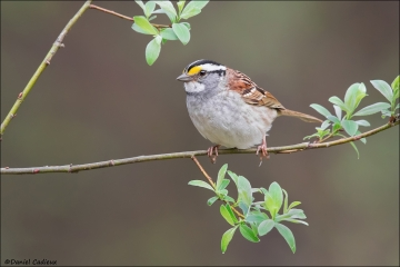 White-throated_Sparrow-16