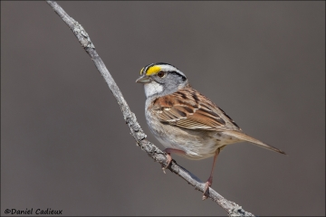 White-throated_Sparrow_0871-14