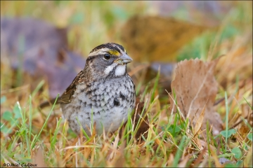 White-throated_Sparrow_4638-14