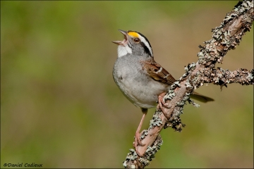 White-throated_Sparrow_4715-10