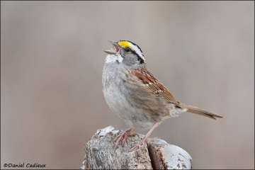 White-throated_Sparrow_6666-11