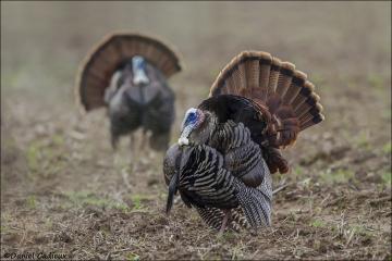 Wild_Turkey_1282-14
