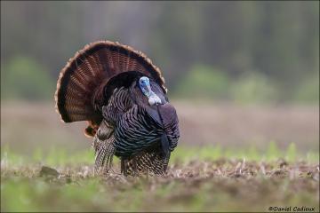 Wild_Turkey_1351-14