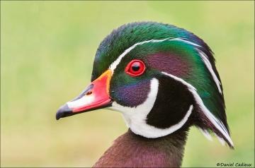 Wood Duck_4604-18