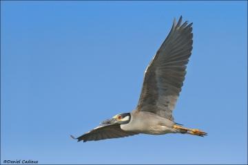 Yellow-crowned_Night-Heron_6780-12