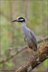 Yellow-crowned_Night-heron_5713-11