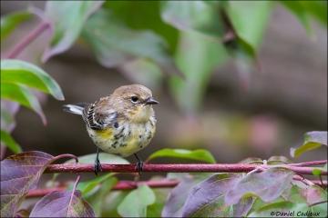 Yellow-rumped_Warbler_1250-14