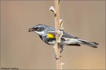Yellow-rumped_Warbler_4087-15