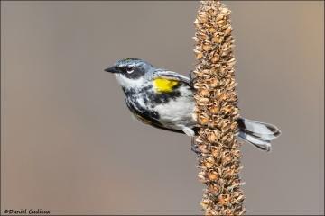 Yellow-rumped_Warbler_4115-15