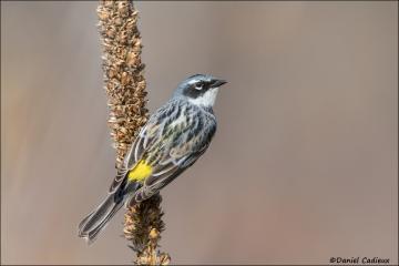 Yellow-rumped_Warbler_4124-15