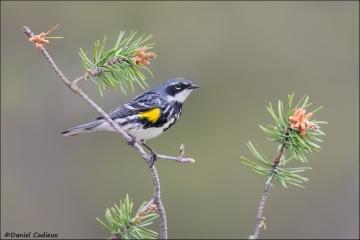 Yellow-rumped_Warbler_6145-16