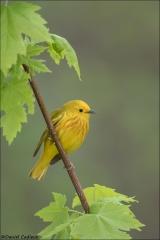 Yellow Warbler_9993-18