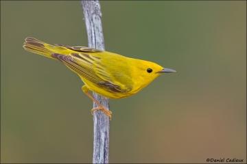 Yellow_Warbler_6339-13