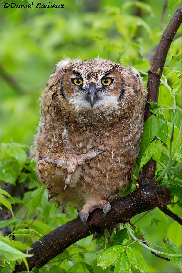 tn_Great-Horned-Owl_7761-1.jpg
