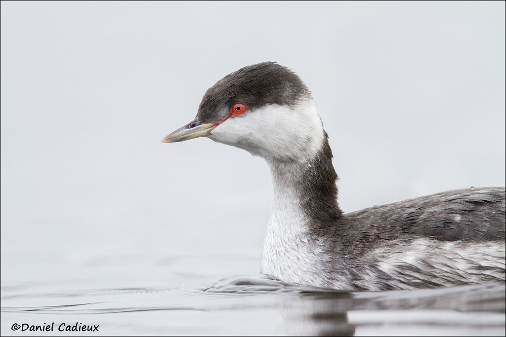tn_Horned-Grebe_8208-1.jpg