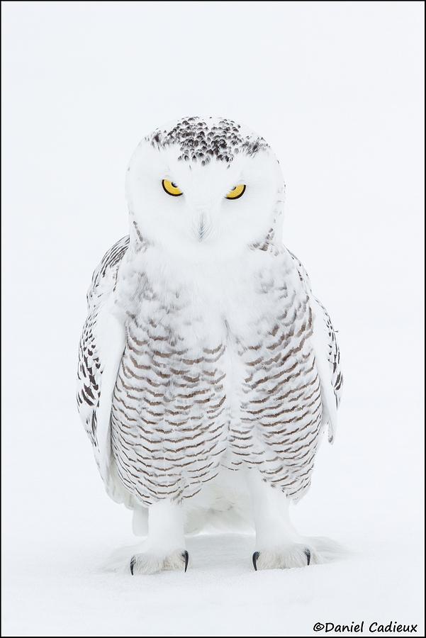 tn_Snowy-Owl_4509-1.jpg