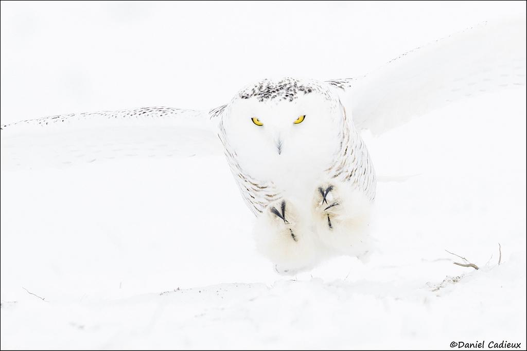 tn_Snowy-Owl_3302-1.jpg